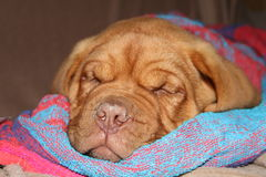 Dogue de bordeaux puppy. Sleeping on towel Stock Photography