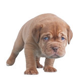 Dogue De Bordeaux puppy walking Royalty Free Stock Images