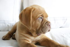 Dogue de Bordeaux puppy. On white bed Stock Photo