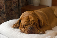 Dogue De Bordeaux que duerme en la cama Imagen de archivo