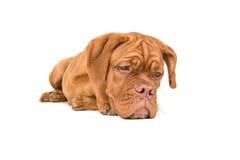 Dogue de bordeaux que está situado en el piso que mira fijamente el piso con p Imagen de archivo