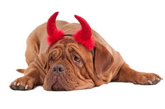 Dogue De Bordeaux with red hornes isolated Royalty Free Stock Image