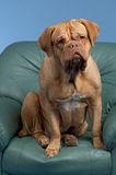 Dogue De Bordeaux sitting on arm chair Royalty Free Stock Photo