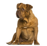 Dogue de Bordeaux sitting, looking away, isolated Royalty Free Stock Photo