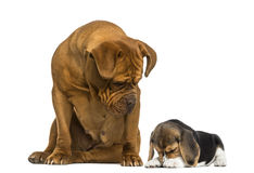 Dogue de Bordeaux sitting and looking at a Beagle puppy hiding. Isolated on white royalty free stock photography