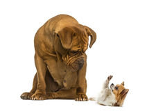 Dogue de Bordeaux sitting and looking at a Chihuahua Royalty Free Stock Photo