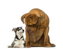 Dogue de Bordeaux sitting and looking at a husky malamute lying Stock Image