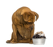Dogue de Bordeaux sitting and looking at rabbits in a dog bowl Stock Images