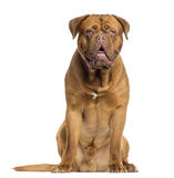 Dogue de Bordeaux sitting and panting, isolated Royalty Free Stock Images
