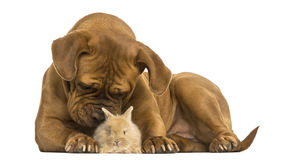 Dogue de Bordeaux smelling a Rex rabbit, isolated Royalty Free Stock Images