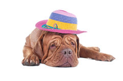Dogue de bordeaux with summer hat Stock Photography