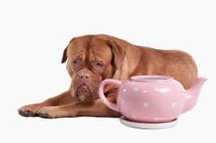 Dogue de bordeaux and tea pot of polka-dot design. Puppy of Dogue De Bordeaux lying next to a tea pot isolated on white background Stock Images