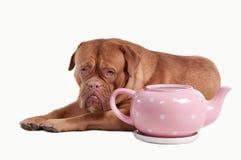 Dogue de bordeaux and tea pot of polka-dot design Stock Images