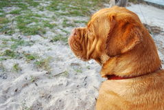 Dogue de Bordeaux Thinking Royalty Free Stock Photos