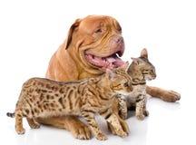 Dogue de Bordeaux  and two leopard cats Stock Photos
