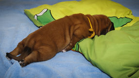Dogue de Bordeaux - valpar Royaltyfri Foto