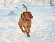 Dogue De Bordeaux Walking Royalty Free Stock Images