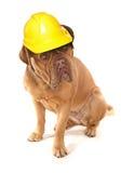 Dogue De Bordeaux wearing a builders safety helmet Stock Images