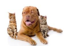 Dogue de Bordeaux y dos gatos de leopardo (Prionai Foto de archivo