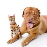 Dogue de Bordeaux y gato de Bengala Fotos de archivo libres de regalías