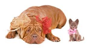 Dogue De Bordeaux y perrito de la chihuahua Imagen de archivo libre de regalías