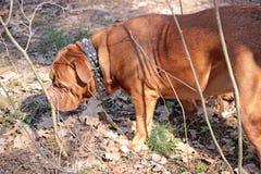 Dogue De Bordo odprowadzenie wokoło lasu zdjęcie royalty free