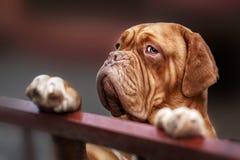 Dogue De Bordo zakończenia up szczegóły twarz Obraz Royalty Free