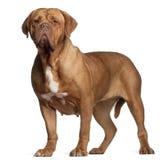 Dogue de Bordéus, 7 anos velho, posição Fotografia de Stock