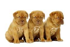 3 Dogue De Boudeux Щенок изолированный на белой предпосылке Стоковое Изображение