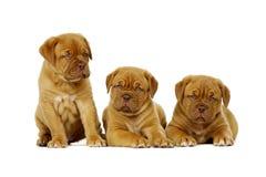 3 Dogue De Boudeux Щенок изолированный на белой предпосылке Стоковые Фотографии RF
