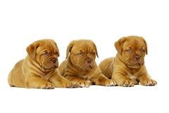 3 Dogue De Boudeux Щенок изолированный на белой предпосылке Стоковая Фотография