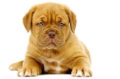 Dogue De Boudeux Щенок изолированный на белой предпосылке Стоковые Изображения RF