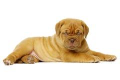 Dogue De Boudeux Щенок изолированный на белой предпосылке Стоковая Фотография