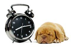 Dogue De Boudeux Щенок изолированный на белой предпосылке Стоковая Фотография RF