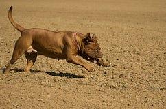 Dogue de corrida de Bordéus Fotografia de Stock Royalty Free
