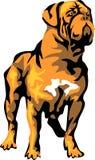 Dogue Royalty Free Stock Photos
