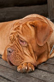 Dogue lying on wooden doorstep stock images