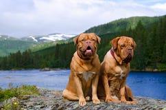 Dogues De Bordeaux against Norvegian landscape royalty free stock images