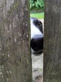 Nosey Neighbor Dog. Dogwalker neighbor dog peeking through the fence waiting for her treat Royalty Free Stock Images
