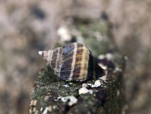 Dogwinkle. File Dogwinkle (Nucella lima) also known as a whelk photographed in the intertidal of Southern British Columbia, Canada Stock Images