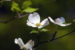 dogwood цветений Стоковое фото RF
