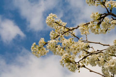 Dogwood Royalty Free Stock Photography