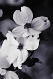 Dogwood Stock Image