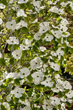 Dogwood Stock Images