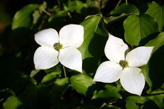 Dogwood 3 Royalty Free Stock Photography
