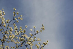 Dogwood Against Sky Royalty Free Stock Images