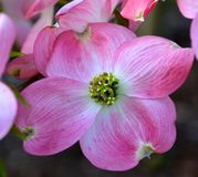 DOGWOOD. BEAUTIFUL BLOOMING PINK TREE BLOSSOMS Royalty Free Stock Photography