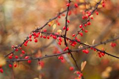 Dogwood berries on the branches, on a colored background. Selective focus. Shallow depth of field. Toned image royalty free stock photography