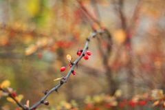 Dogwood berries on the branches, on a colored background. Selective focus. Shallow depth of field. Toned image royalty free stock images