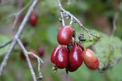 Dogwood berries stock image